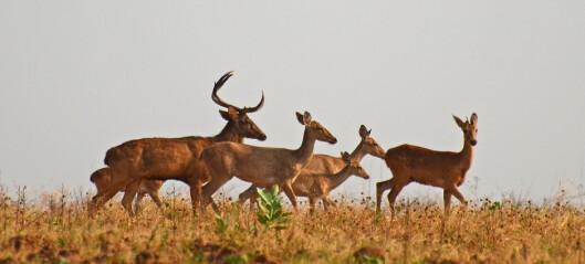 Verdens største bestand av Elds hjort funnet i Shwesettaw viltreservat i Myanmar