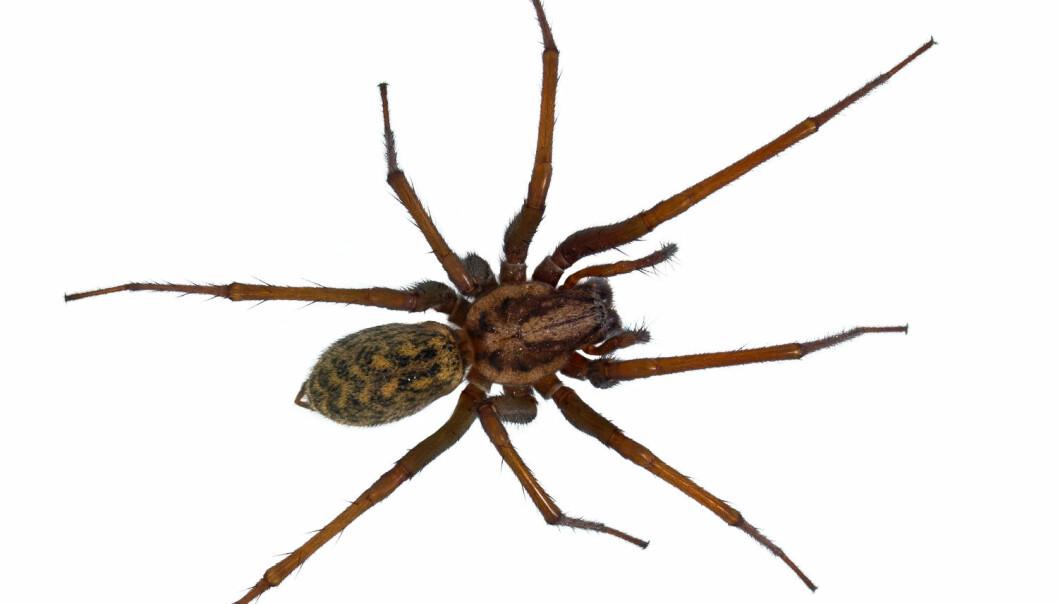 En hårete edderkopp kan få mange til å svette. (Foto: Shutterstock/NTB scanpix)