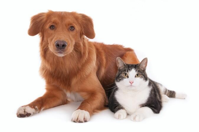 Hunder og katter har større sjanse for å kunne bli venner hvis de introduseres litt etter litt. (Foto: De Jongh Photography / Shutterstock / NTB scanpix)