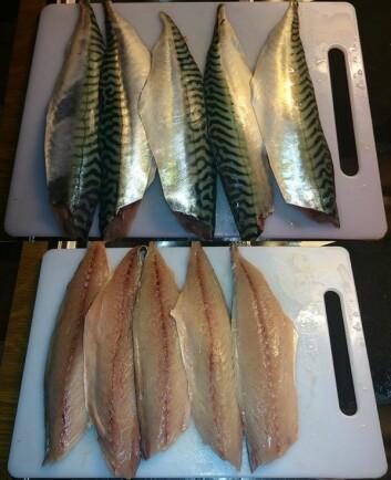Forsker Stein Harris Olsen fikk flotte makreller da han var på fisketur i Malangen i sommer. Behandlet optimalt så filetene slik ut. (Foto: Nofima)