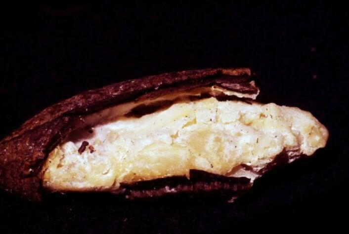 Gulmuggsopp (<em>Aspergillus flavus</em>) angriper tørr mat som her: en paranøtt. (Foto: Klaus Høyland, UiO)