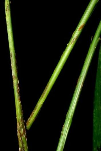 Svartrust (<em>Puccinia graminis</em>) er et stort problem i tropene. (Foto: Klaus Høyland, UiO)