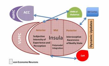 På bildet av hjernen kan du se området Insular Cortex hvor vi har kroppsbevissthet og kan føle hvordan vi har det. (Foto: (Illustrasjon: Mani Pavuluri, Amber May/CC BY 4.0))