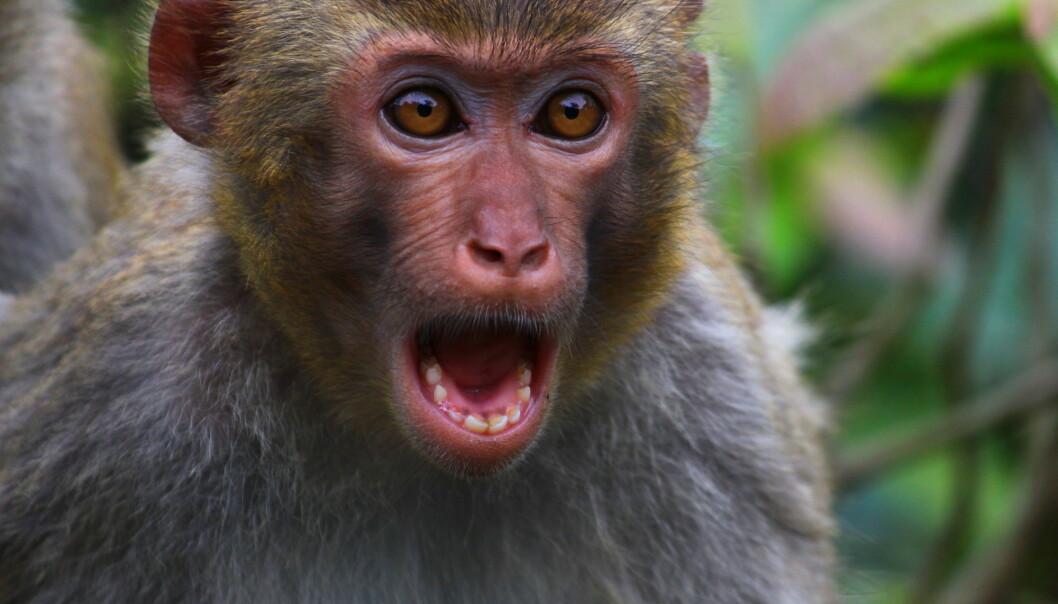 Rapportene fra voldsepisodene viser at apene hovedsakelig kommer fra tilfeller der de tidligere har blitt splittet eller separert fra familien. (Foto: stevenku, Shutterstock, NTB scanpix)
