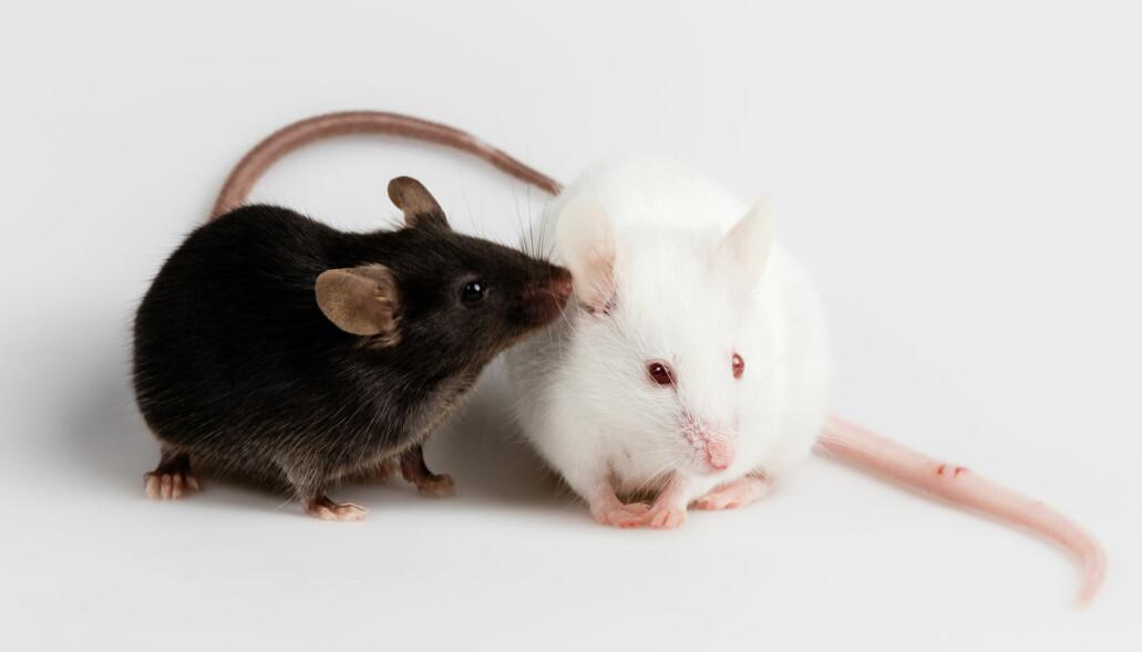Mus som hadde fått tarmbakterier fra mennesker med autisme, var mindre sosiale enn dyr som hadde tarmflora fra friske folk. (Illustrasjonsfoto: Janson George / Shutterstock / NTB scanpix)