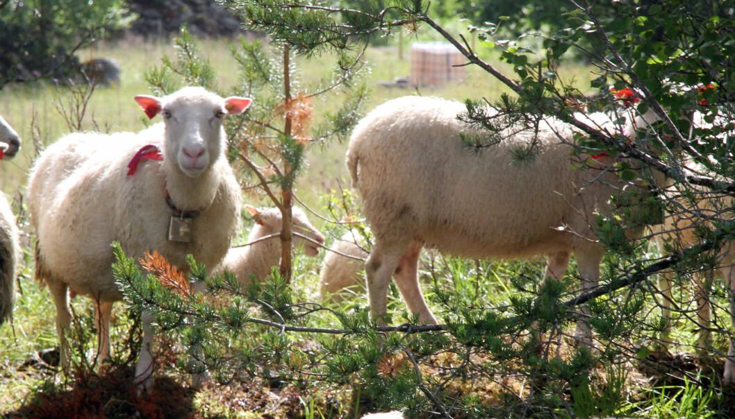 Alveld var vanligst i Nord-Trøndelag, Møre og Romsdal og Sør-Trøndelag, der mellom 22 og 39 prosent av sauebøndene hadde mistet lam på grunn av alveld i 2014. (Foto: NORSØK)
