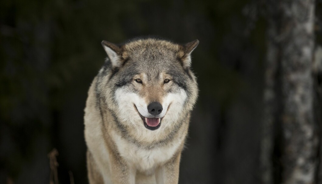 Det er færre ulver i Skandinavia, ifølge Rovdata. (Foto: Heiko Junge, NTB scanpix)