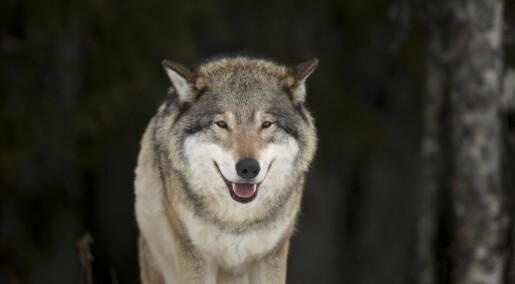 Ulvebestanden i Skandinavia går ned