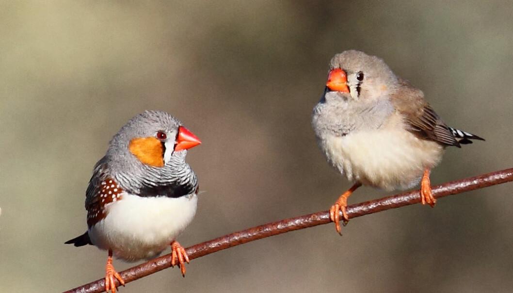 Sebrafinker advarer de uklekkede om det varme været de har i vente.  (Foto: Chris Tzaros)