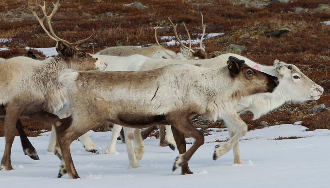 Fordi det er for mange rein i forhold til mat i Finnmark, ville en del dødd av sult, dersom det ikke fantes rovdyr. Rovdyrene tar de svakeste, og sørger dermed for at færre rein dør av sult. Det betyr mer mat til resten av flokken. Og bedre slaktevekt for reineierne. (Foto: Per Harald Olsen, NTNU)