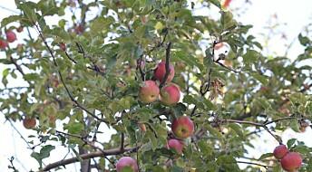 Hvordan ble eplet slik vi kjenner det?