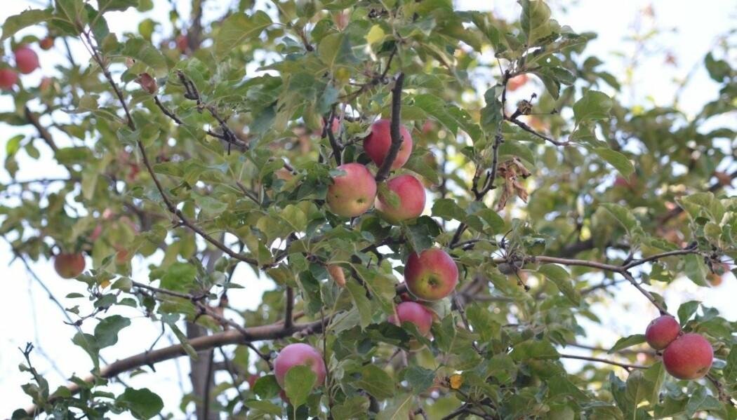 Villeplene fra Tian Shan-fjellene i Sentral-Asia er en forløper til det moderne eplet. (Foto: Martin R. Stuchtey)