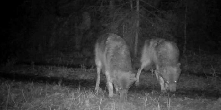 To ulver i skogen utenfor Oslo. (Foto: http://viltkamera.nina.no)