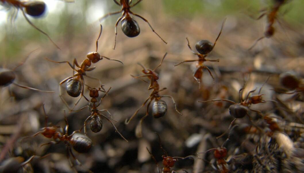 Er det sånn at dyr hjelper hverandre ut fra godhet og empati, eller styres de av noe annet? Og hvor hjelpsomme er de små dyrene, for eksempel maurene?  (Foto: Tore Wuttudal / NTB Scanpix)