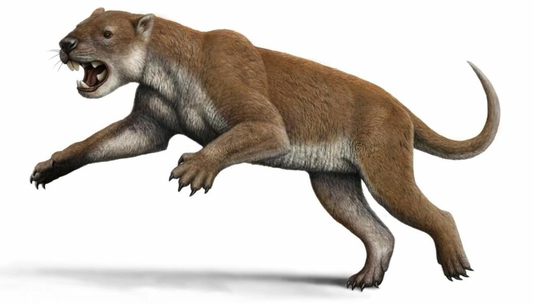 Pungløven Thylacoleo carnifex slik en kunstner forestiller seg at den så ut. (Illustrasjon: Mauricio Antón)