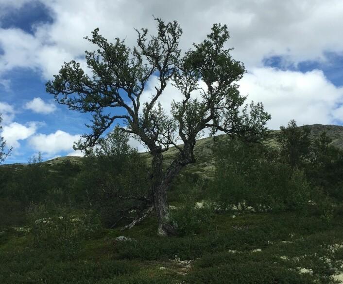 """""""Så langt kom jeg"""", sa det gamle treet ved Rondane. """"Men de som kommer etter meg, vil nok klare å klatre enda høyere opp på fjellet, for det pågår en global oppvarming."""" (Foto: Terje Wahl)"""