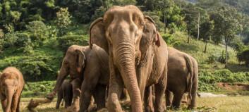 Elefanter kan lukte hvor mye mat som skjuler seg i ei bøtte