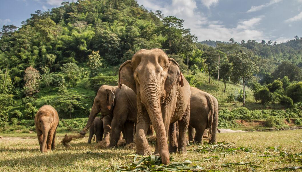 For elefantene er hørsel og luktesans ofte viktigere enn synet. Nå viser ny forskning at de store dyra kan bedømme mengde med nesa. (Foto: Oriol Querol / Shutterstock / NTB scanpix)