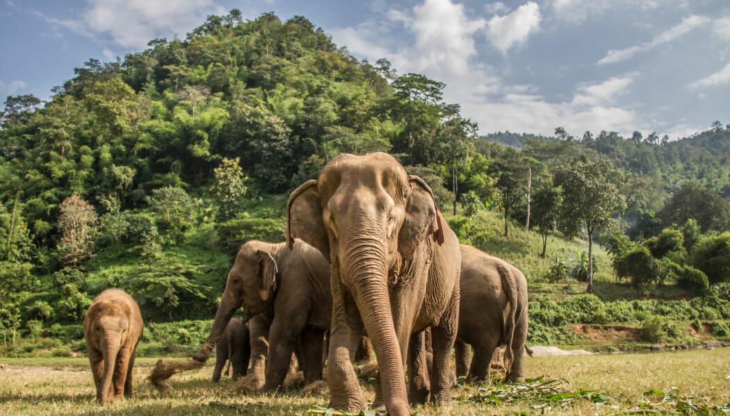For elefantene er ørene og nesa ofte viktigere enn øynene.