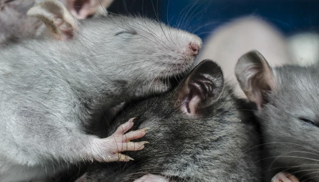 Forskerne fant ut at virusene hadde formert seg ti ganger så mye i cellene hos mus som var i hvilefasen av døgnsyklusen sin, sammenlignet med mus som var i aktiv fase. (Foto: Preobrajenskiy / Shutterstock / NTB scanpix)