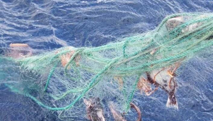 Disse fiskene har viklet seg inn og dødd i et borkomment garn. Nedbrytbare garn vil kunne minske omfanget av såkalt spøkulsesfiske. (Foto: Gjermund Langedal, Fiskeridirektoratet)