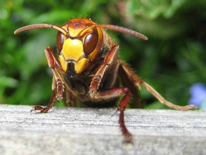 Geithamsen har bredt hode, store øyne og kraftige kjever. Brummingen er høy og karakteristisk. Den er ofte aktiv om natta og tiltrekkes av lys. (Foto: Aconcagua/CC BY-SA 3.0)
