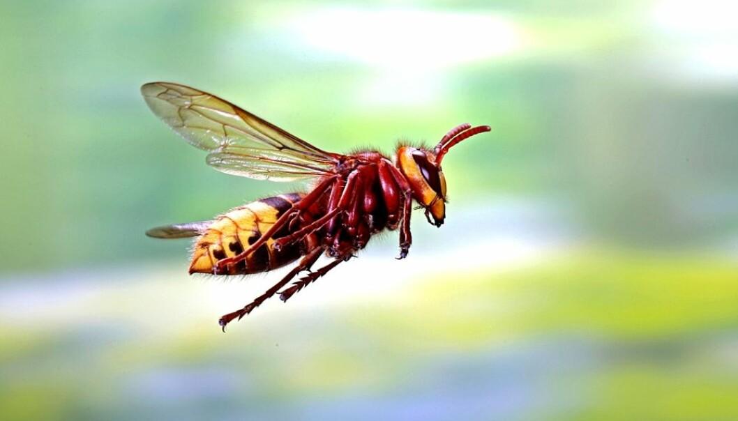 Geithamsen er Europas største stikkveps. Mange blir redde når de møter den. Denne vepsen kan bli tre centimeter lang.  (Foto: Kim Taylor / NTB scanpix)