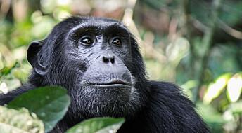 Ville sjimpanser fortrengt til «gettoer» i skogene