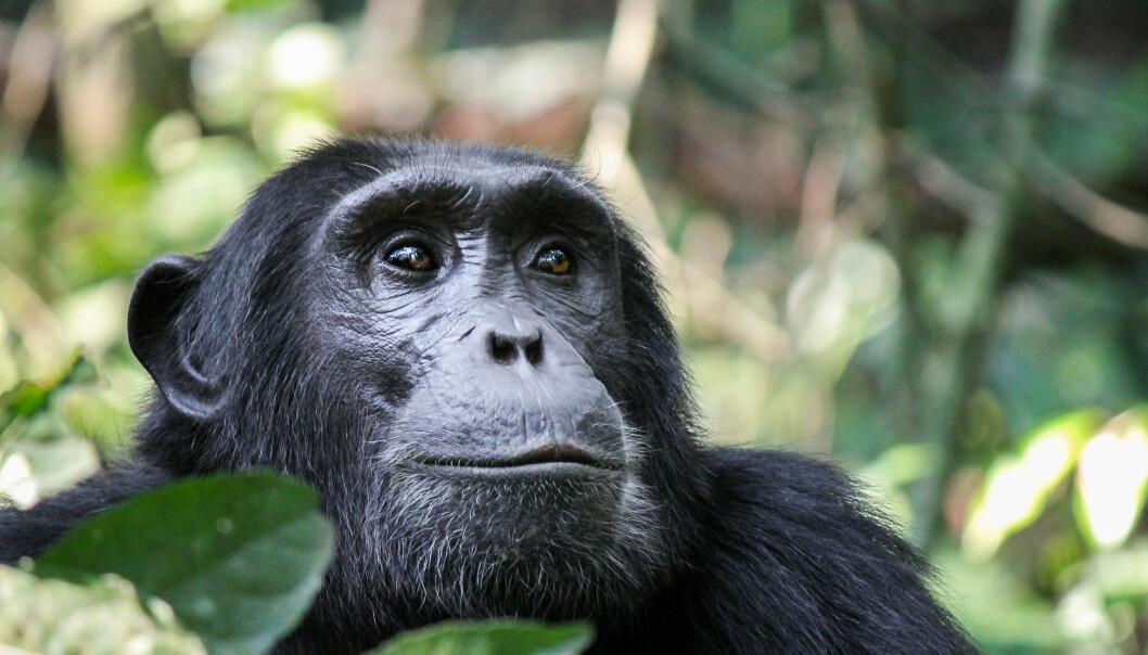 Hovedtrusselen mot sjimpansene er tap av habitat. (Foto: Robin Nieuwenkamp / Shutterstock / NTB scanpix)