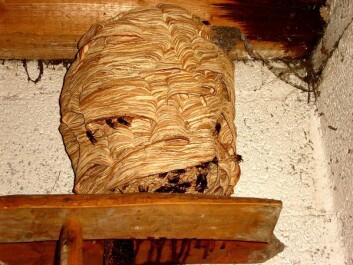 Bolet som geithamsen bygger kan bli på størrelse med et menneskehode. Byggeplassen kan være i hule trær, i uthus eller i husvegger. Også fuglekasser brukes til bol. Dette bildet er tatt i Tyskland. (Foto: Wikimedia Commons /CC BY-SA 3.0)