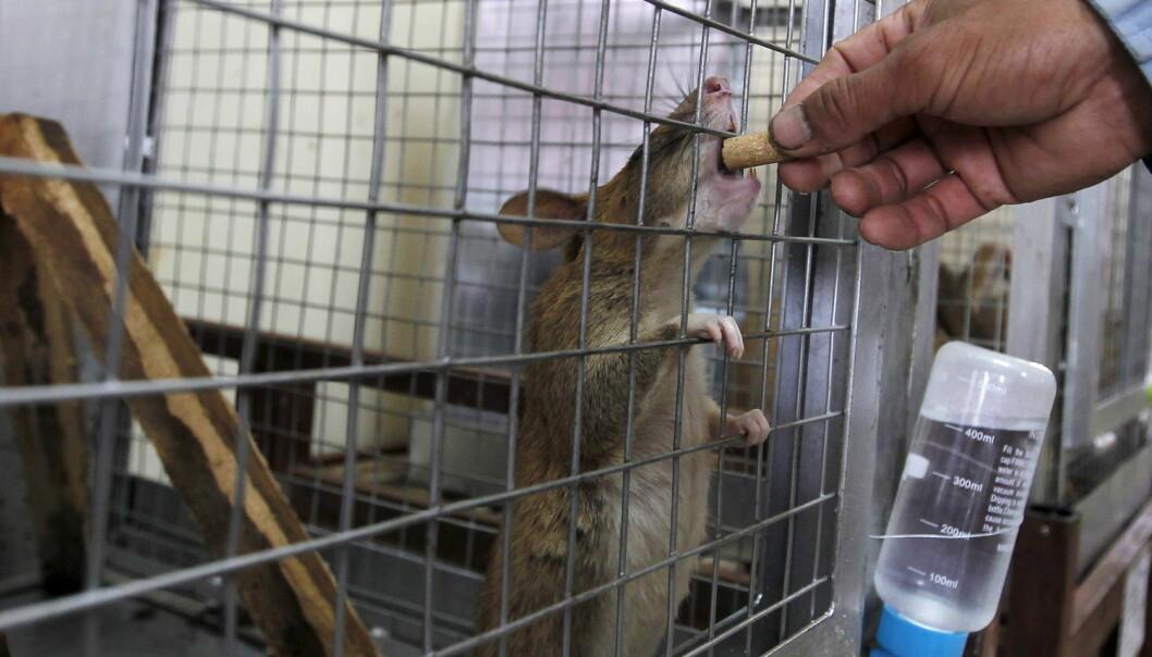 Forskerne bak studien påpeker at effekten de såhos rottene ligner på mekanismene som ligger bak utviklingen av flere sykdommer som henger sammen medovervekthos mennesker. (Foto: Reuters, NTB Scanpix)