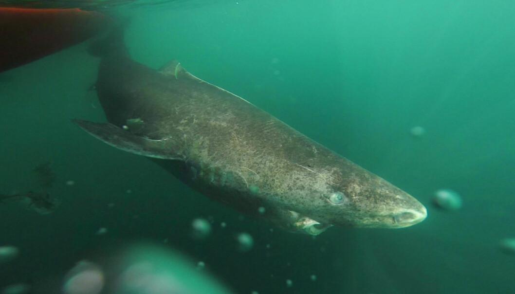 Med sine fem meter er håkjerringa en av de største kjøttetende haier i verden. Den kan bli så gammel som 510 år. (Foto: Julius Nielsen)