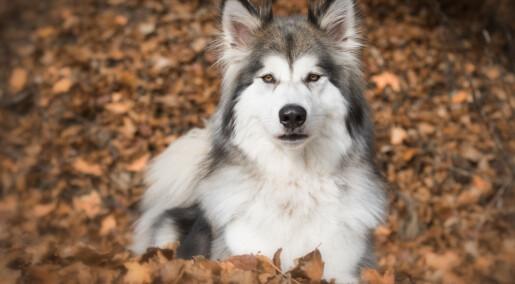 Hva skal vi gjøre med ulvehybridene i Europa?