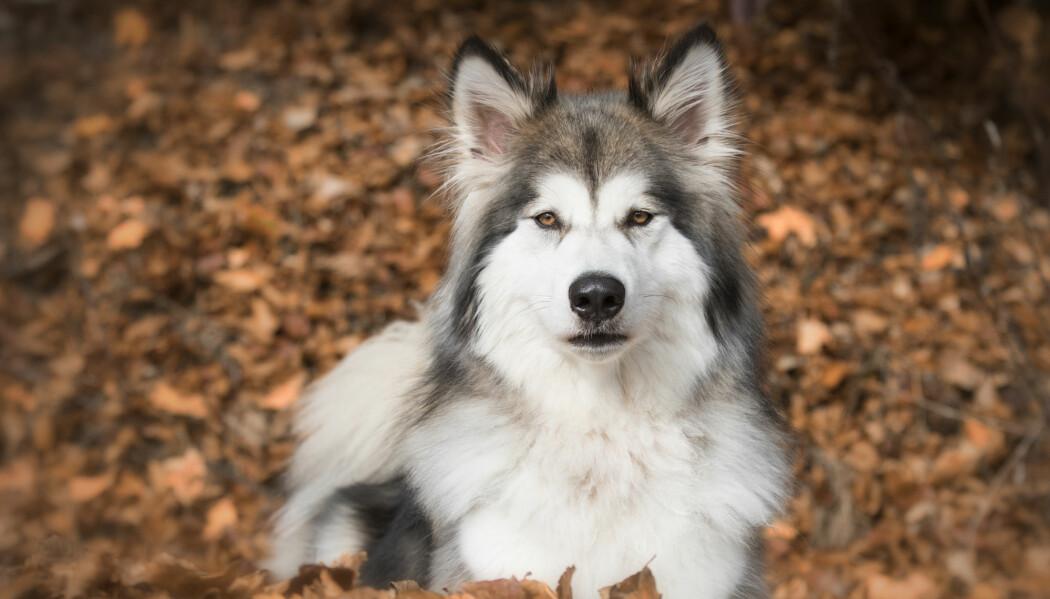 Flere ulvehybrider kan føre til at valpene ender opp med trekk som gjør dem uegnet for å leve ute i naturen. (Foto: Nicole Hollenstein, Shutterstock, NTB scanpix)