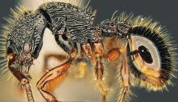 Mystisk maur har rosinhud og pigger