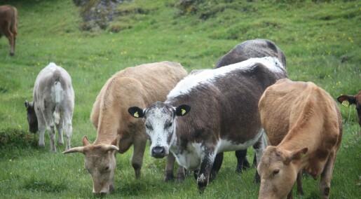 Økt kjøttproduksjon med flere dyr i nord