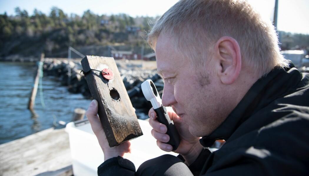 Havmiljøet kan slite på tre. Derfor vil forskerne finne ut hvordan de kan beskytte det mot de ugjestmilde forholdene. Her studerer NIBIO-forsker Andreas Treu nedbrytningen av en plankebit som har ligget i vann. (Foto: Lars Sandved Dalen, NIBIO).