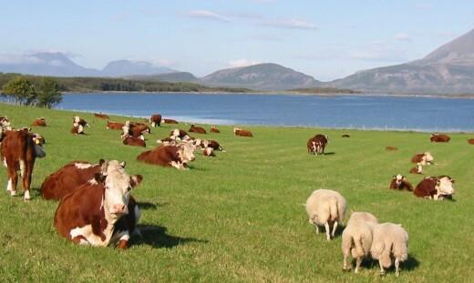 Sauen og kua gjør mer enn å rape metangass