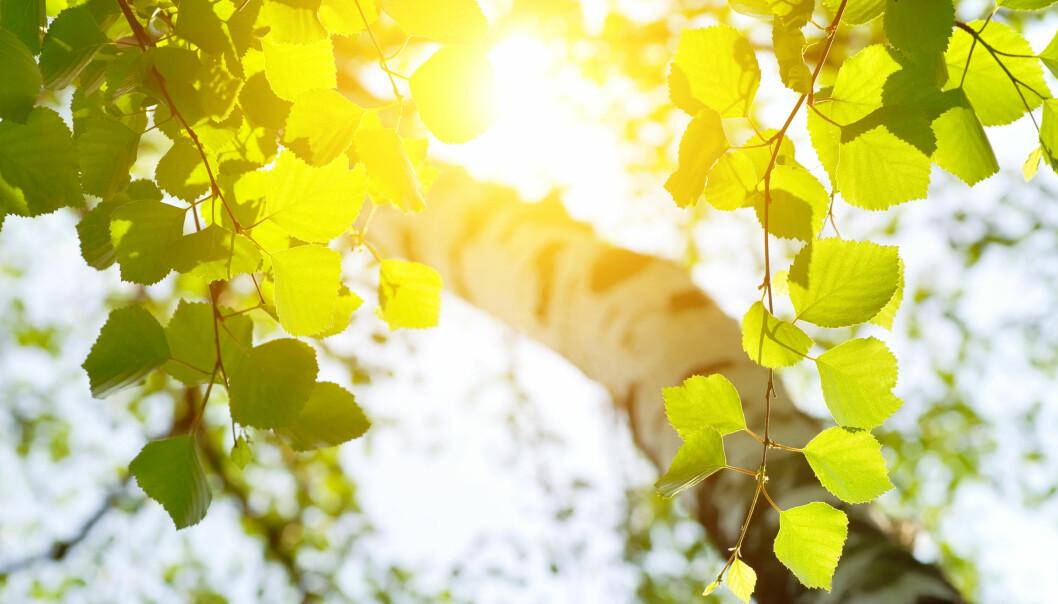 Bjørk i sollys. Foto: Shutterstock