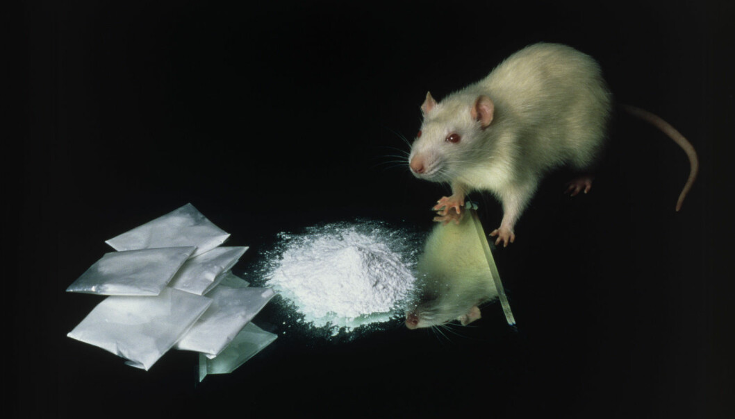 Forsøksrottene fikk lov til å ta opp til 40 doser med kokain, seks timer om dagen, i fem dager.  (Foto: Science Photo Library / NTB Scanpix)
