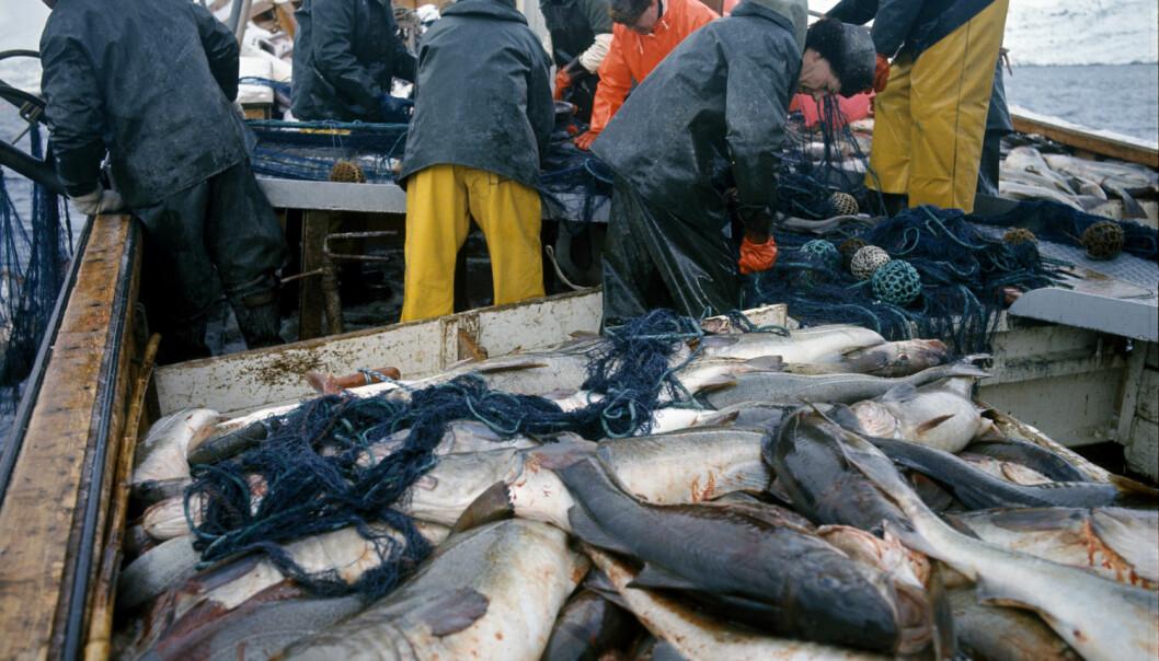 – Torsk var i 2015 den viktigste økonomiske fiskeart i Norge, og spiller dessuten en sentral rolle i økosystemet i Barentshavet og langs norske kysten. Nå er det for første gang funnet plast i norske torskemager. Her fra lofotfiske, med fiskebåt full av torsk. (Foto Svein Hammerstad, NTB scanpix)