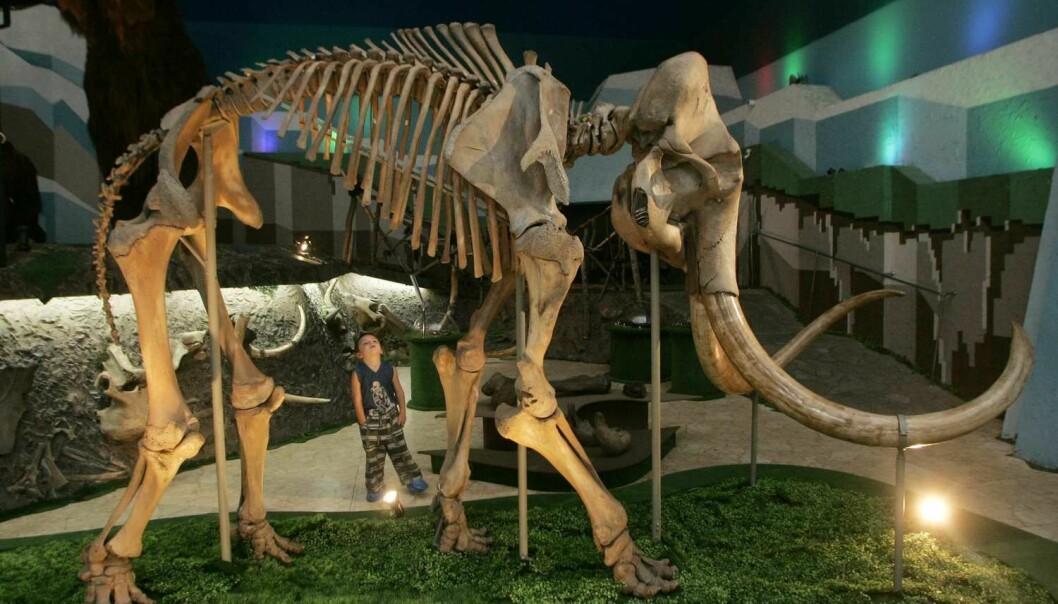 Mammutens nærmeste nålevende slektning er den indiske elefanten. Den ullhårete mammuten er den mest kjente arten. (Foto: Sergei Karpukhin, Reuters, NTB Scanpix)