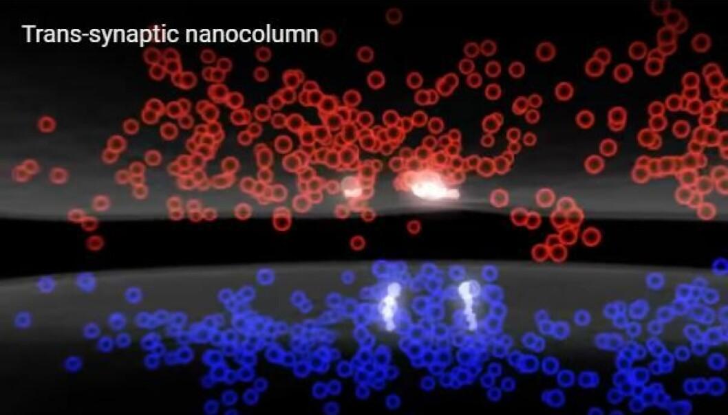 Både koblingene mellom hjernens celler og signalstoffene mellom dem har et uventet presist mønster når signaler overføres fra en hjernecelle til en annen. (Thomas Blanpied/Nature/Youtube)