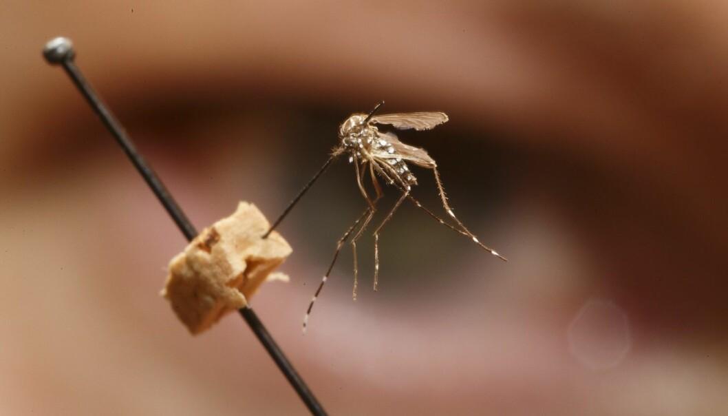 Insektsforsker og konservator Geir Søli studerer en gulfebermygg av arten Aedes aegypti på Naturhistorisk museum i Oslo. Det er denne typen mygg som sprer zikaviruset. De siste månedene er minst en million smittet bare i Brasil, og viruset sprer seg til stadig flere land.  (Foto: Heiko Junge / NTB scanpix)