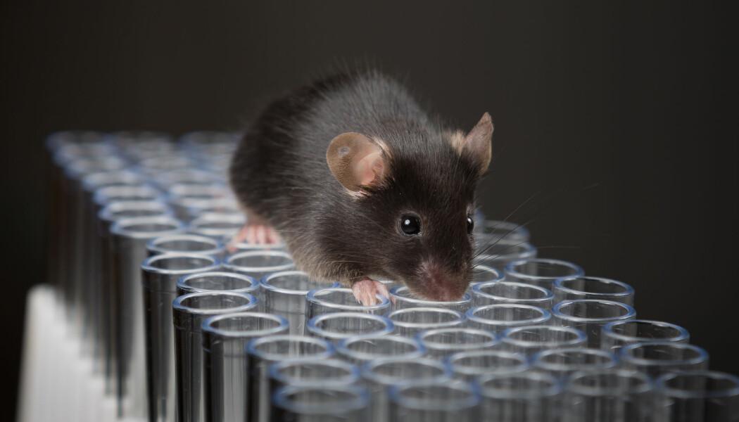 Dette er bare en illustrasjon på musestudier, men det er usikkert hvor mange forskere som ville latt mus gå fritt på reagensglassene sine. (Bilde: Janson George / Shutterstock / NTB scanpix)