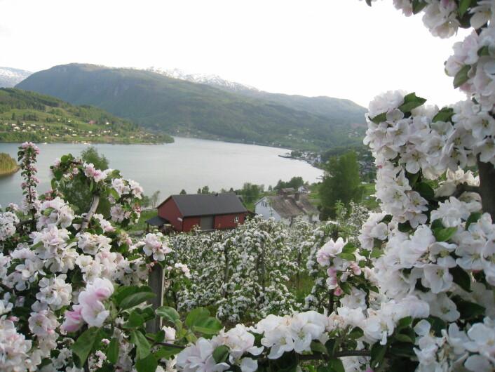 Ullensvang og Ulvik kalles ikke Norges frukthage for ingenting. Her er det full blomst hos Ulvik frukt & cideri. (Foto: Asbjørn Børsheim)
