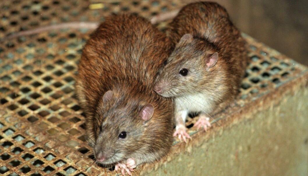 Rotter er blant dyrene som regjeringen på New Zealand nå går inn for å utrydde helt.  (Foto: Linda Kastrup/Scanpix)