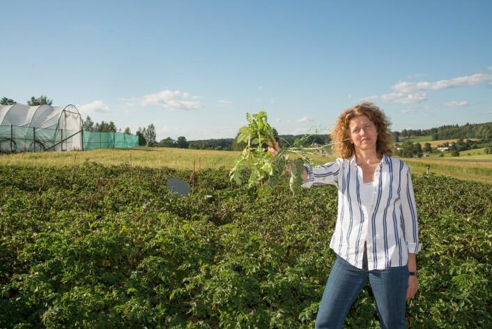 Ingeborg Klingen er opptatt av å få et kontinuerlig overvåkingsprogram for å kartlegge resistens. Her med en «bukett» jordbær, potet og raps, den siste med skade av kålmøll. (Foto: Erling Fløistad, NIBIO)