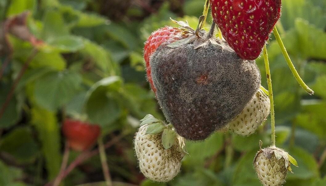 Gråskimmelsopp på jordbær. (Foto: Erling Fløistad, NIBIO)