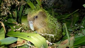 Uglepapegøyen gjør jobben til murmeldyret, men er en av fuglene som er truet av rotter, pungrotter og røyskatter. (Foto: Wikimedia)